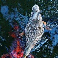 Борьба утки и рыбы за кусок булки :: Татьяна Манн