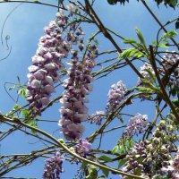 ...Ласково цветёт глициния... :: Надя Кушнир