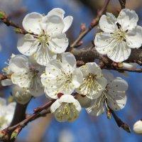 Абрикосовая весна :: Татьяна Смоляниченко