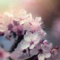цветение.. :: Лилия .