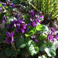 Цветок фиалки словно фея лесная.. :: Наталья Джикидзе (Берёзина)