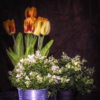 Тюльпаны. :: Gene Brumer