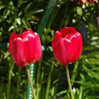 Тюльпаны 8 :: Алексей Цветков