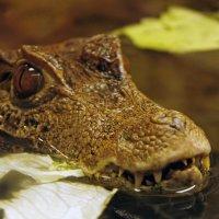 крокодильчик маленький :: Света Ли