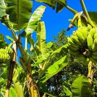 бананы :: Екатерина Самохина
