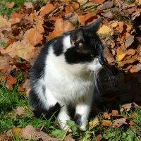 Усатый кот :: Милешкин Владимир Алексеевич