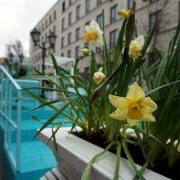Весенние цветы, в не весенний день ... :: Лариса Корженевская