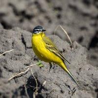 Желтая трясогузка (Motacilla flava) :: Владимир M