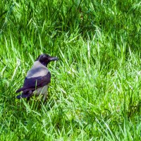 Ворона-любуется весенней зеленью! :: Варвара