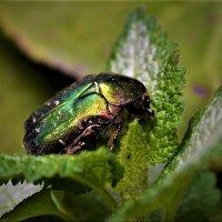 Майский жук :: Клара