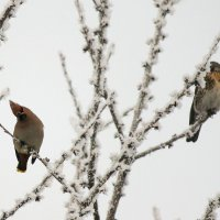 Случайно залетали Свиристели!!! :: Светлана Масленникова
