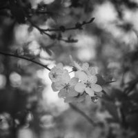 Цветение :: Полина Дюкарева