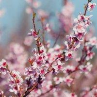Персик цветёт :: Nyusha