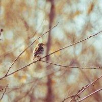 Лесной жаворонок :: Aleksandra Kulikova