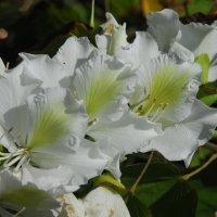 Белое счастье апреля... Bauhinia ALBA :: Надя Кушнир