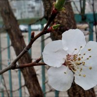Цветочек абрикоса :: Нина Корешкова
