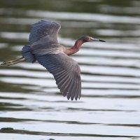 reddish egret :: Naum