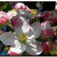 яблоня  в  цвету ! :: Ivana
