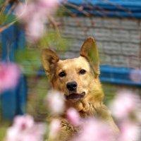 Собака в персиках :: Олег Шендерюк