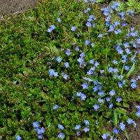 Голубоглазый апрель :: Нина Бутко