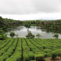 Чайная плантация на Маврикии :: Julia A
