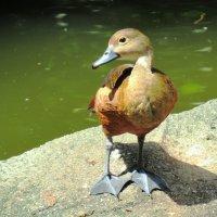 Индийская свистящая утка. :: Вадим Синюхин