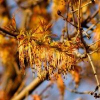 Весенние украшения деревьев клёна :: Александр Прокудин
