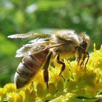 Медовая пчелка! :: Наталья