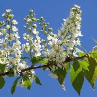 Белый цвет, черёмухи цвет, это весны весёлый привет! :: Татьяна Смоляниченко