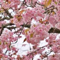 Сакура в Нара :: Swetlana V