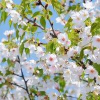 Цветущая сакура в Нагоя :: Swetlana V