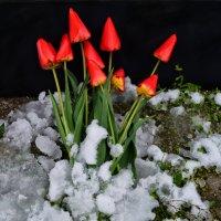 Зимняя весна :: Роза Бара