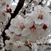 Цветение абрикоса. :: Нина Корешкова