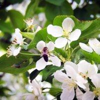 Яблоня в цвету :: Сергей Гроза