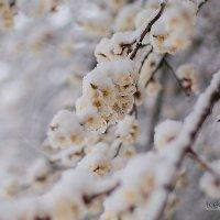 Цветы в снегу 19.04.2017 :: Юлия Лопатченко