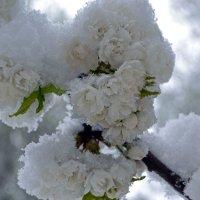 Махровая черешня в снегу :: Nina Streapan