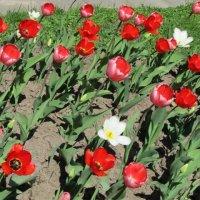 Красное море цветов :: Дмитрий Никитин