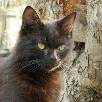 Чёрный кот :: Сергей Босов