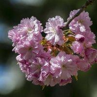 Цветение сакуры :: Valentina M.