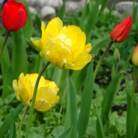 Пора тюльпанов...3 :: Тамара (st.tamara)