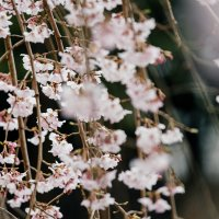Sakura :: Станислав Маун
