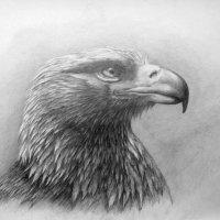 Беркут рисунок карандашом :: rv76