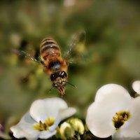 Пчелка Жу-Жу... :: Клара