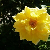 Жёлтая роза :: Вера Щукина