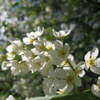 Черемуха цветет :: spm62 Baiakhcheva Svetlana