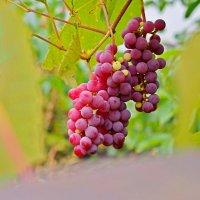 Садовый виноград :: Дубовцев Евгений