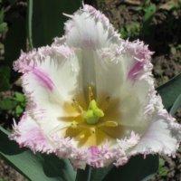 Тюльпан махровый в стиле макро :: Дмитрий Никитин