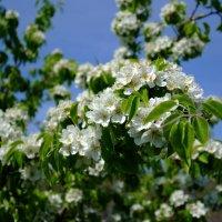 яблоня в цвету :: владимир Баранов