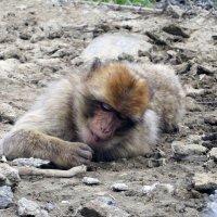 Мир обезьян :: Наталья Джикидзе (Берёзина)