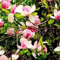 Цветение магнолии :: Нина Бутко